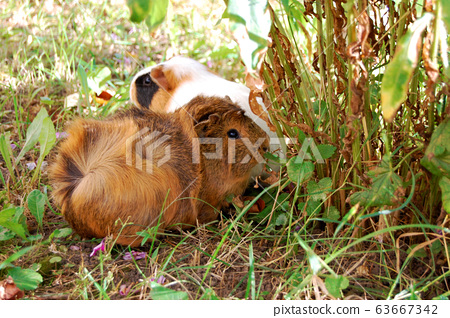 guinea pig walks in the fresh air and eating green 63667342