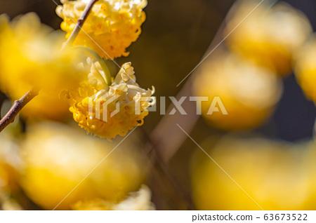 Mitsumata flower in full bloom [Aichi Prefecture] 63673522