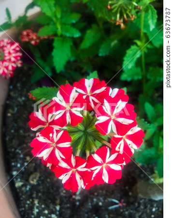 Red and white flower 63673787