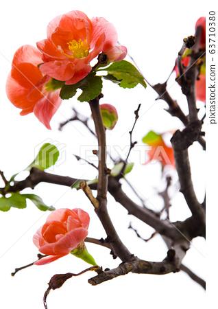 粉深紅色,長花,梅花,粉紅色,長壽李,梅花,長壽李,梅花, 63710380