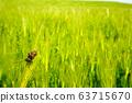 在綠色的大麥場的天牛 63715670