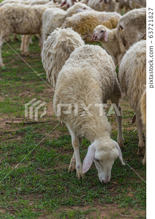Group of sheeps strolling and eating grass on farmland 63721827