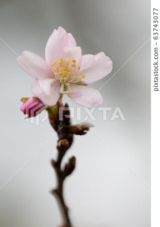 쥬우가쯔자쿠라 / 도시 녹화 식물원 63743077