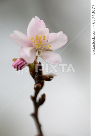 Zygatsuzakura /城市植被植物園 63743077