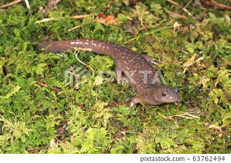 Hida salamander 63762494