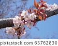 산 벚나무 63762830