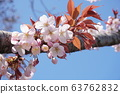 산 벚나무 63762832