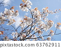 산 벚나무 63762911