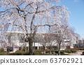 皇子が丘 체육관 앞의 수양 벚나무 63762921