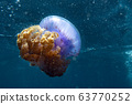 cotylorhiza giant jellyfish 63770252