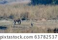 Animal, Nepal, Tiger 63782537