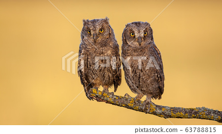 Two eurasian scops owl chicks sitting on a bough with yellow moss in spring 63788815
