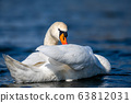Swan on a clear deep blue river reflection 63812031