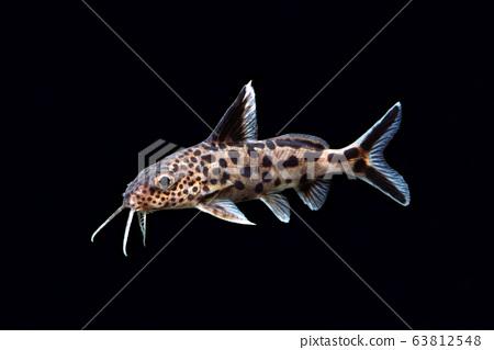 杜鵑cat魚 63812548