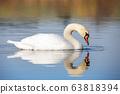 Wild bird mute swan in spring on pond 63818394