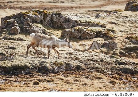 Reindeer living in Iceland 63820097