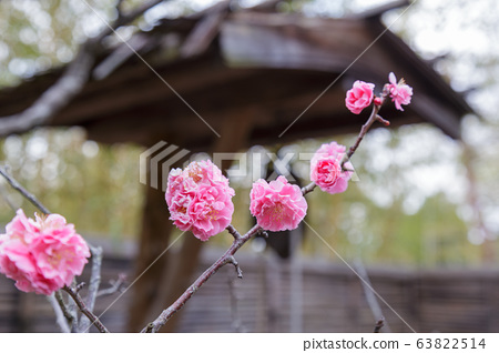 Prunus mume flower 63822514