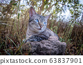 Blue-eyed cat laying in the grass. 63837901