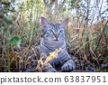 Blue-eyed cat laying in the grass. 63837951