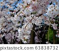 Weeping cherry blossoms at Omi Shrine 63838732