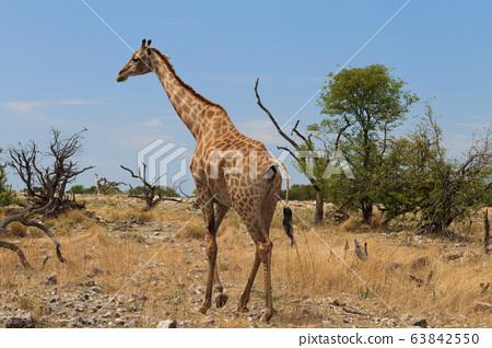 Giraffe 63842550
