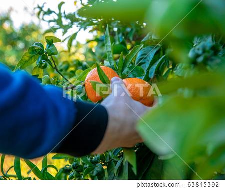 man tearing ripe tangerines from tree in summer 63845392