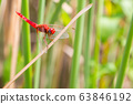 Red dragonfly looking at the camera and green background 63846192