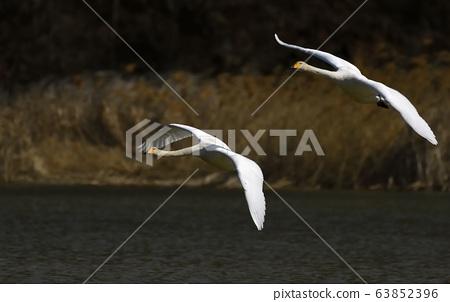 天鵝,鳥,動物 63852396