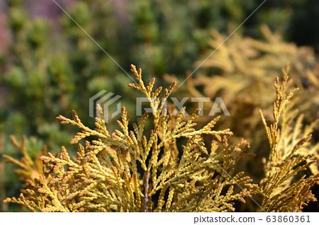 Yellow Ribbon Arborvitae 63860361