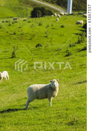 來自新西蘭惠靈頓馬卡拉牧場的綿羊 63867337