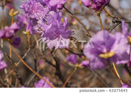 핑크색 철쭉과 꿀벌 63875645