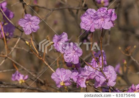핑크색 철쭉 63875646