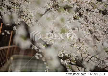 Meguro River in spring 63889321