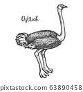 Sketch of common, Somali, Asian ostrich vector 63890458