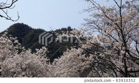 Gifu Castle and Sakura 63910352