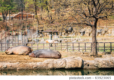 Hippopotamus at Seoul grand park zoo in Gwacheon, Korea 63923065