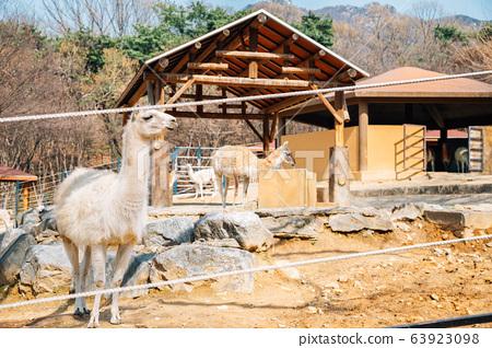 Llama at Seoul grand park zoo in Gwacheon, Korea 63923098
