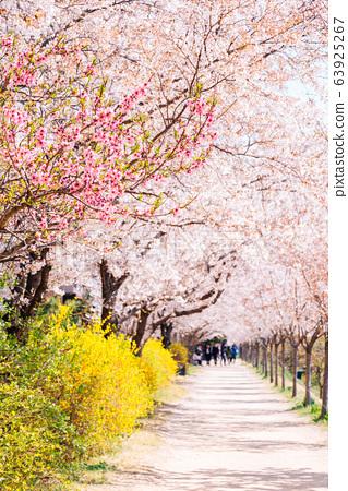 Dongchon riverside park, Cherry blossom festival in Daegu, Korea 63925267