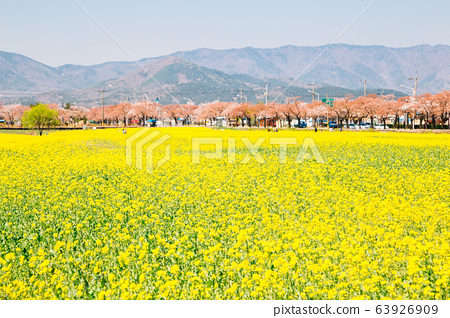 Yellow rape flower field and Cherry blossom trees at spring in Gyeongju, Korea 63926909