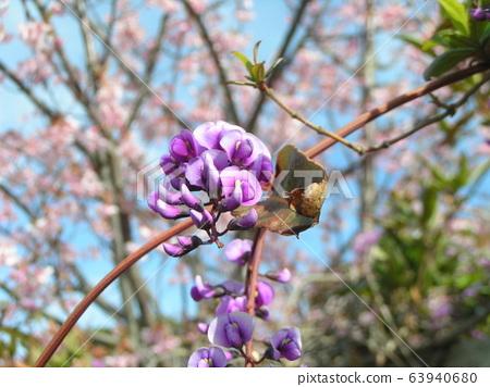 這朵紫色的花藤是Hardenbergia 63940680