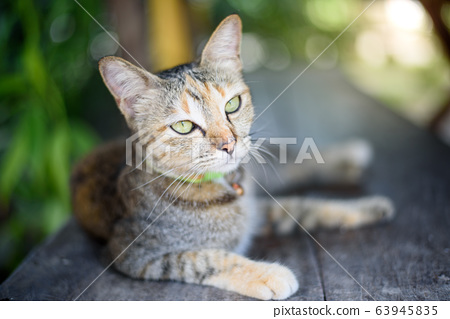 home cat portrait laying on wooden table in green 63945835