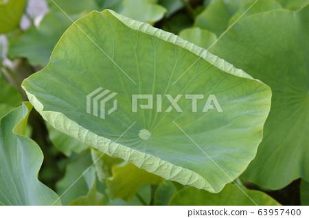 Sacred lotus 63957400