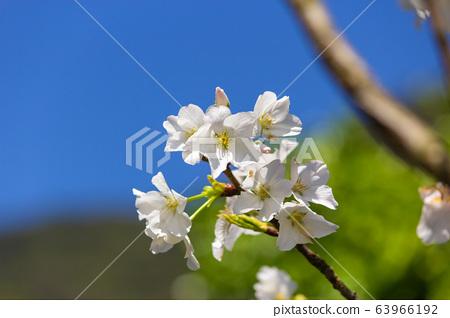 民宅旁的白色櫻花樹 63966192