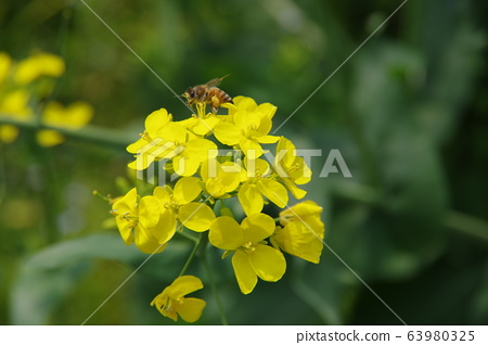 Rape flowers and bees 63980325