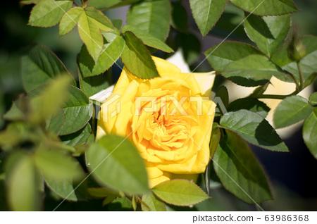 玫瑰 63986368
