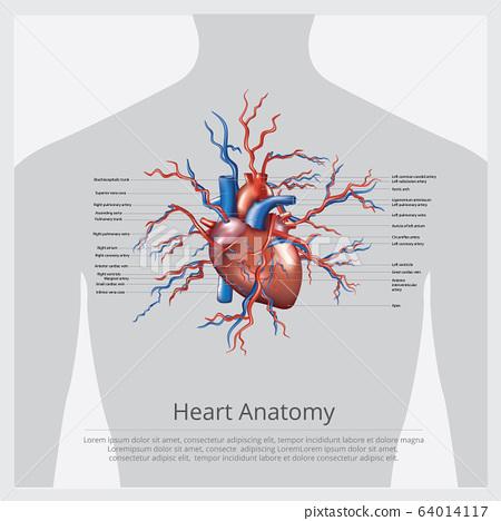 Heart Anatomy Vector Illustration 64014117