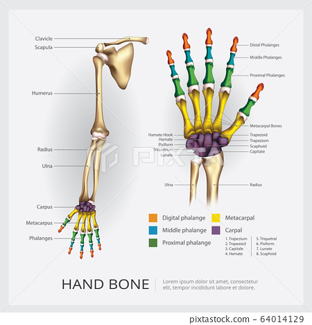 Arm and Hand Bone Vector Illustration 64014129