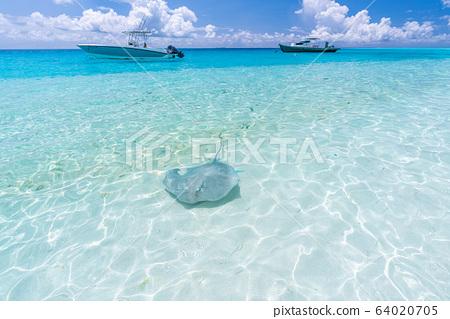 Stingray in crystal clear water in Fulidhoo island beach, Maldives 64020705