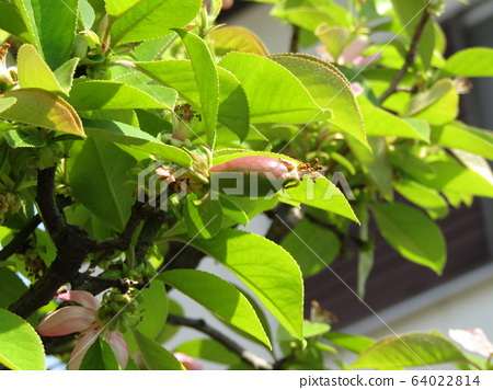 Karin fruit that has begun to bear fruit with stamens remaining 64022814