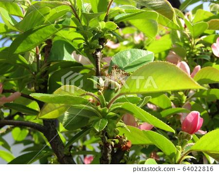 분홍색 꽃 모과의 꽃 64022816